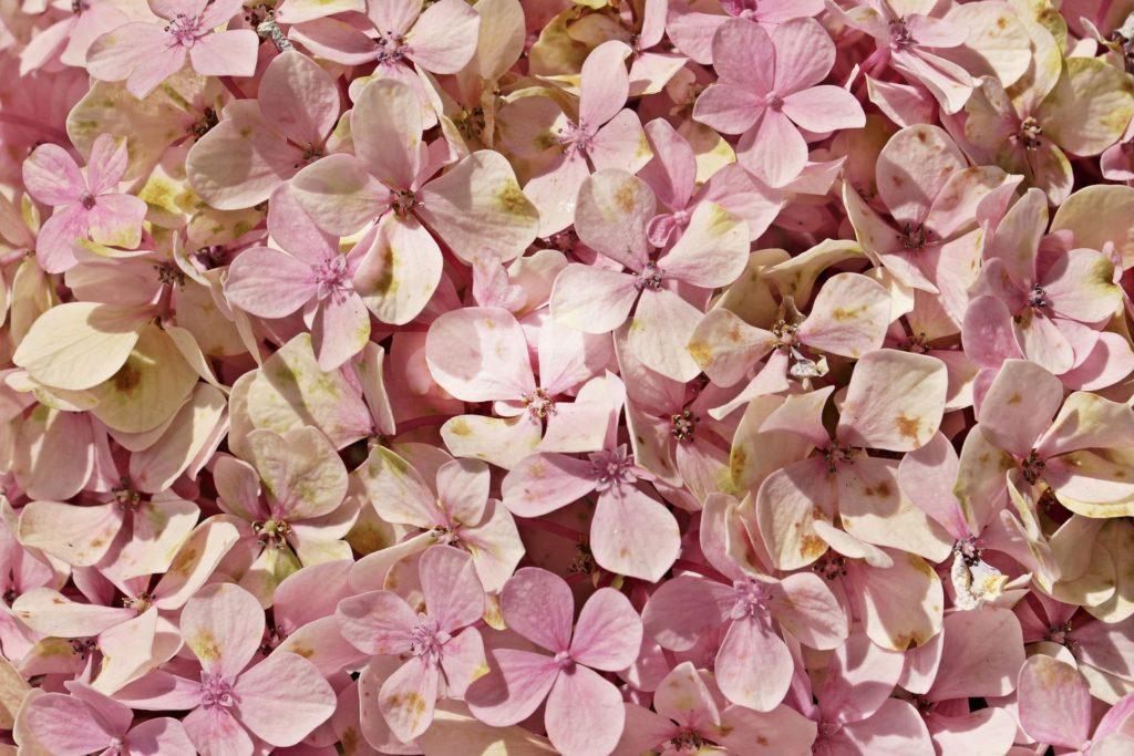 あじさいの花言葉の種類が多い理由