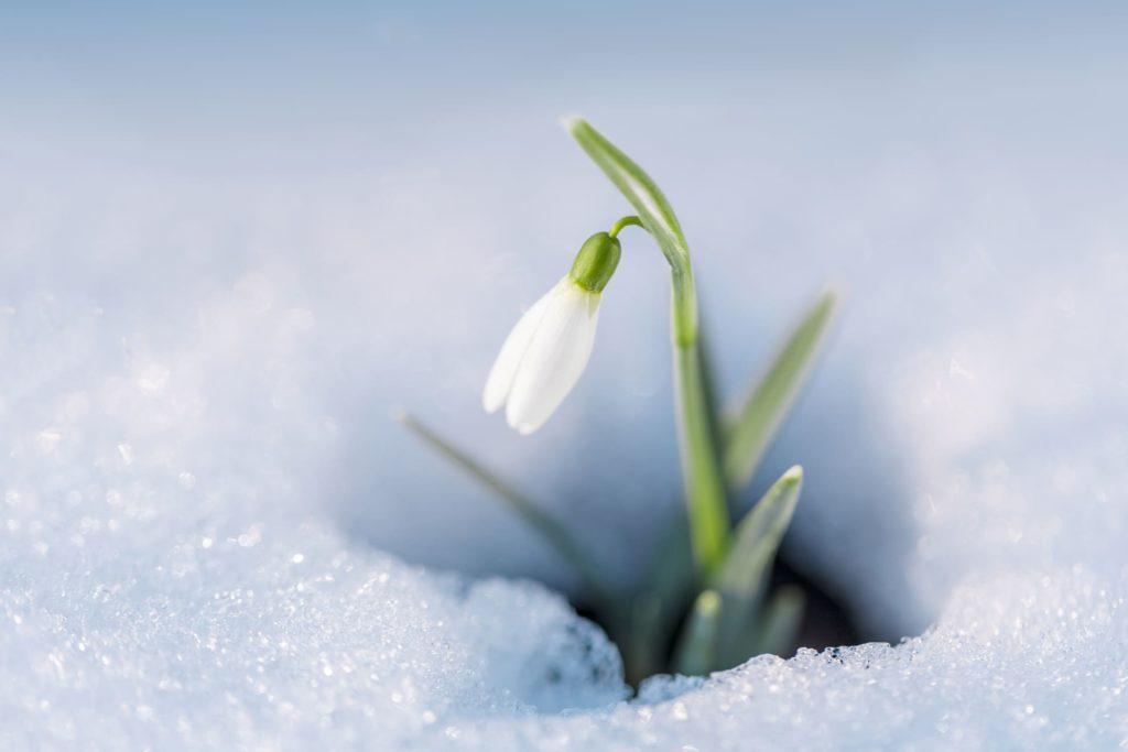 スノードロップの花言葉